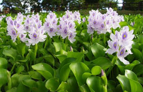 debris boom for controlling aquatic plants like water hyacinth